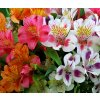 Alstroemeria mix 02