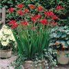 Crocosmie Lucifer 04