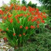 Crocosmie Lucifer 05