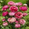Ranunculus pink 01