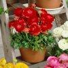 Ranunculus red 04