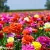 Ranunculus mix 02