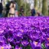 fialovy krokus flower record 2