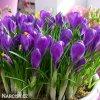 fialovy krokus flower record 4