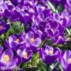 fialovy krokus flower record 5