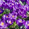 Krokus Flower record large flowering 5