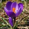 fialovy krokus flower record 6
