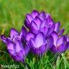 fialovy krokus flower record 7