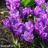 fialovy krokus flower record 1