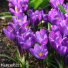 Krokus Flower record large flowering 1