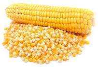 Kukuřičné zrno