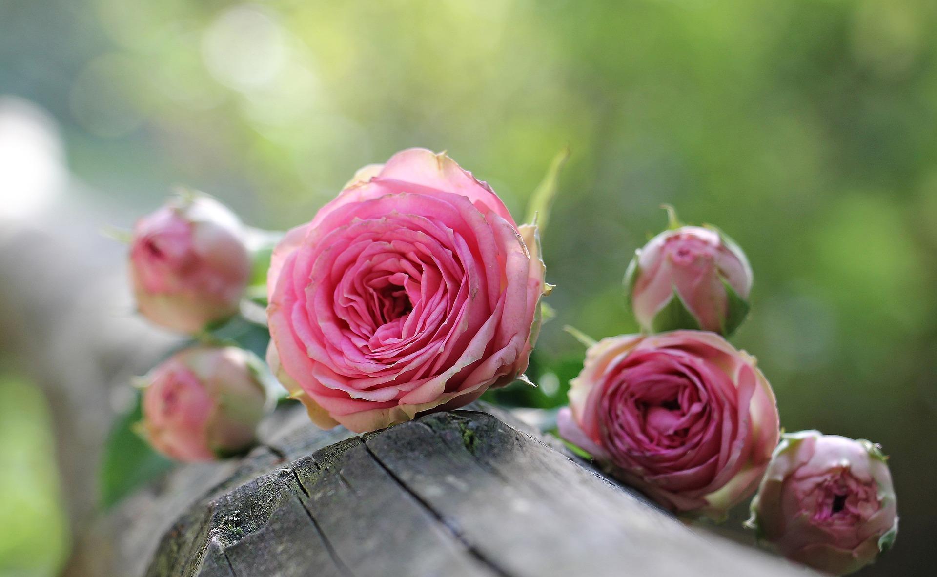 Dary přírody: Růže