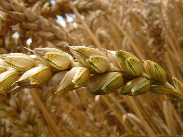 Hokus pokus: Nebojte se pšenice