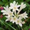 rajnigandha polianthes tuberosa