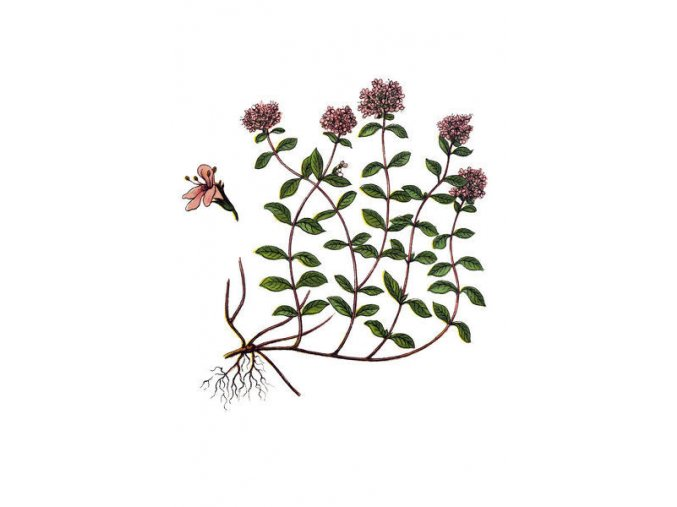 thymus serpyllum known common names breckland 18309939
