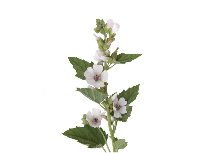althaea marshmallow herb image