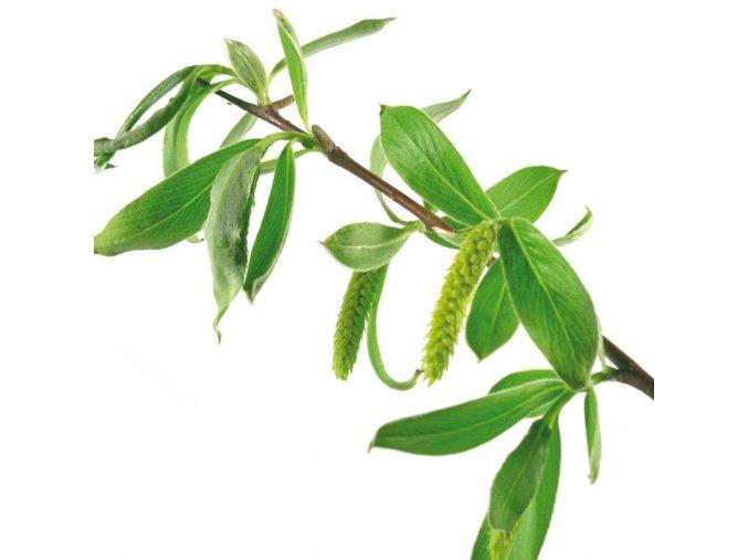 F0000001510 plantas web ok white willow