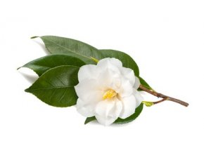 camellia 35347927 s