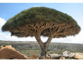 Socotra dragon tree
