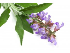 81490038 salvia officinalis sage also called garden sage or common sage flower isolated