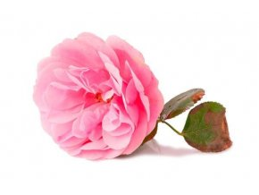 rose otto grande