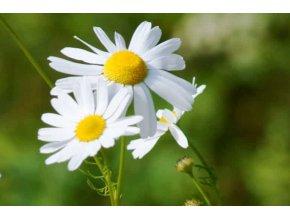 German Chamomile Plant Info