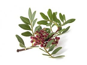 65722570 mastic tree with red berries pistacia lentiscus isolated on white background