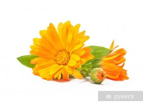 fototapety calendula officinalis.jpg