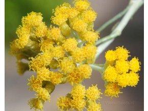 helichrysum italian organic