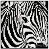 IC9897 Zebra