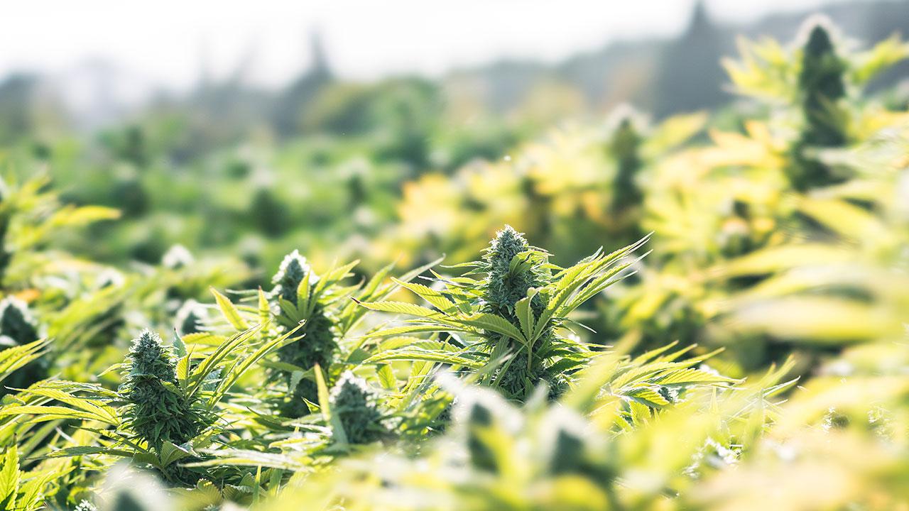 how-to-grow-marijuana-outdoors