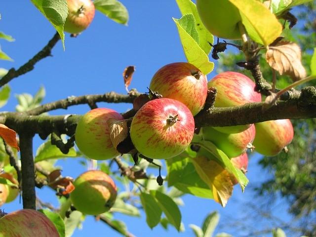 priprava-ovocnych-stromu-leto-1