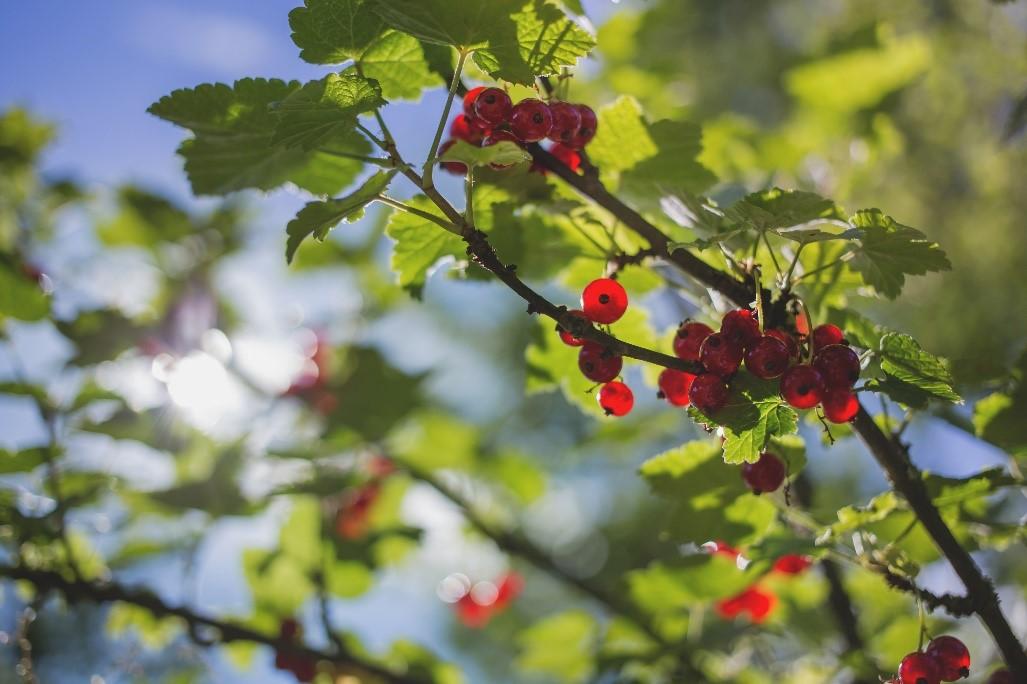 priprava-ovocnych-stromu-leto-2