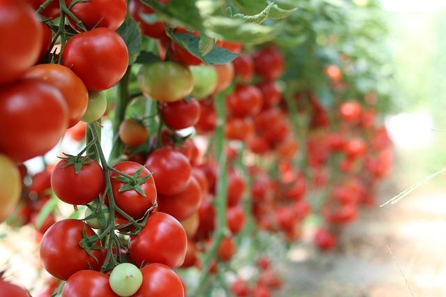 tomatoes-3016550_640