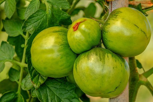 tomatoes-3665441_640