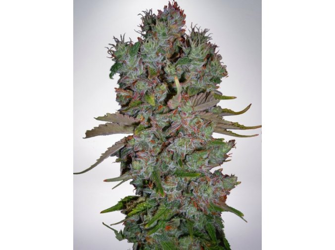 auto blueberry domina feminizovan bb9