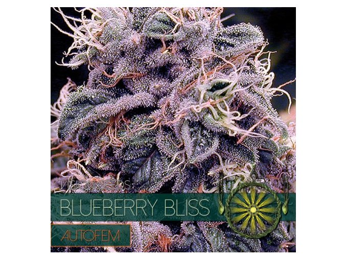 autofem vision seeds blueberry bliss