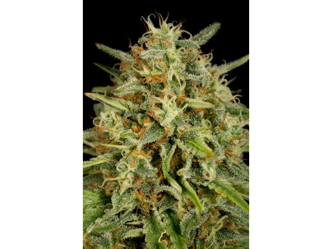 dinafem strawberryamnesia 4983 1