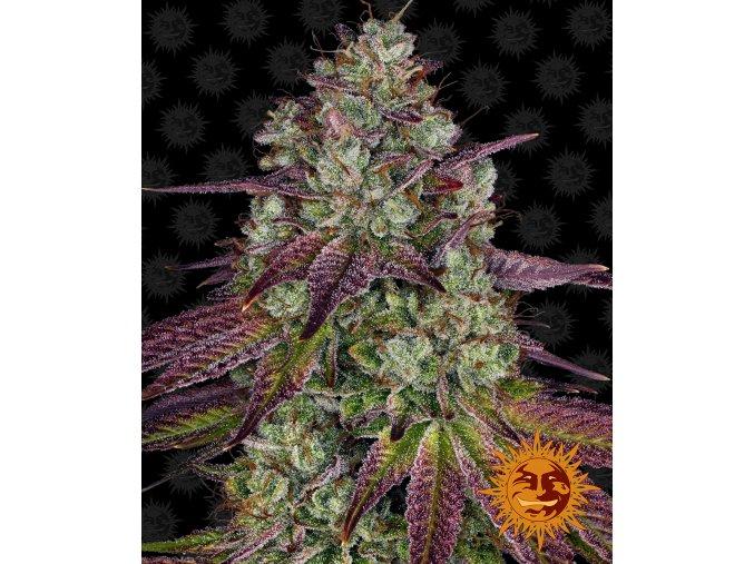 mimosa circle new 12 445154