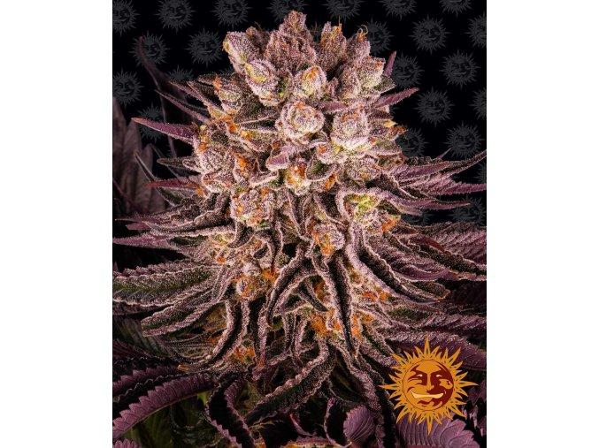 mimosa x orange punch circle new 21 371983