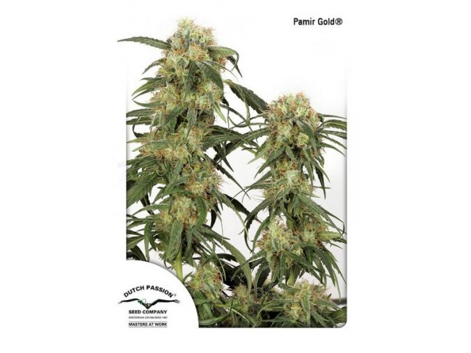 Pamir Gold Dutch Passion