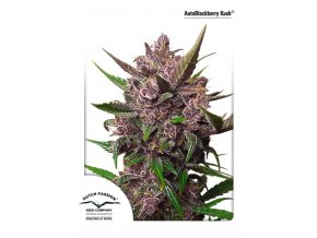 AutoBlackberry Kush Dutch Passion 1 723x1024
