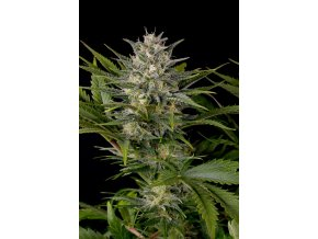 pinneapple skunk humboldt seeds