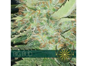 vision seeds big bud