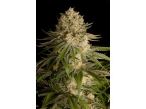 critical kush dinafem product full