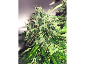 auto cannabis light 1