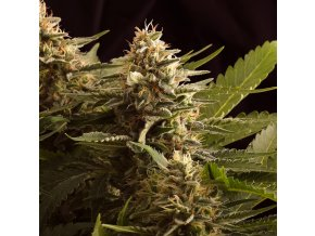 colombian jack product image 5477