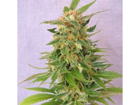 ginger punch auto product image 113