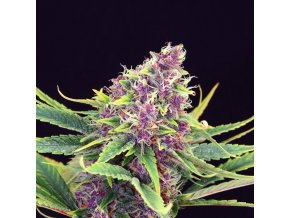 purple kush product image 34