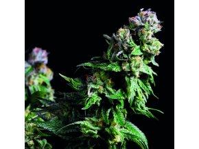 Purple Urkle catalogo web 800x800